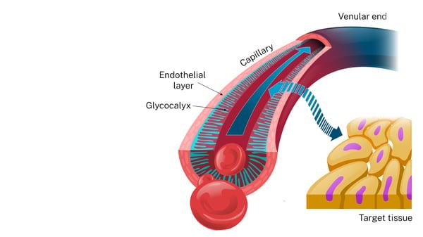 Tissue [erfusion through the endothelial glycocalyx